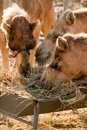 Three Camels Eating Hay Royalty Free Stock Images