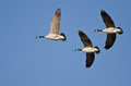 Three Canada Geese Flying in a Blue Sky Royalty Free Stock Photo