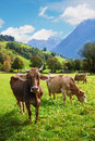 Three cattles in idyllic pasture landscape, switzerland Royalty Free Stock Photo