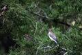 Three Cedar Waxwing Birds In Cedar Tree Royalty Free Stock Photo