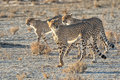 Three cheetahs at kgalagadi Royalty Free Stock Photo