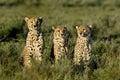 Three Cheetahs sitting, Serengeti Royalty Free Stock Photo