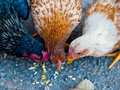 Three chickens eating corn on pavement Royalty Free Stock Photo