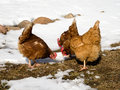 Three chickens eating grass in winter Royalty Free Stock Images