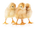 Three chickens. Royalty Free Stock Photo