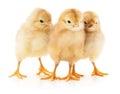 Three chickens. Royalty Free Stock Photo