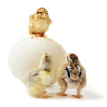 Three chicks and ostrich egg little pedigreed yellow brown brahma with shaggy paws one stands on big the others are on the floor Royalty Free Stock Photography