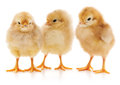 Three chicks. Royalty Free Stock Photo