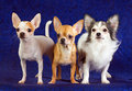 Three Chihuahua Stock Photos