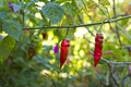 Three chillies ripening Royalty Free Stock Image