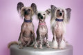 Three Chinese Crested Dogs Royalty Free Stock Photo