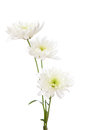 Three chrysanthemums isolated on white background Stock Photography