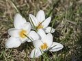 three close up macro pure white Crocus vernus. Spring flower on green leaves bokeh background, selective focus, top view Royalty Free Stock Photo