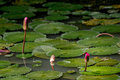 Three closed water lily flowers in a lily pond with a red dragon Royalty Free Stock Photo