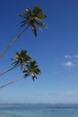 Three Coconut Trees Royalty Free Stock Photo
