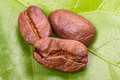 Three coffee beans on green leaf close up Stock Image