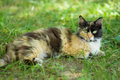 Three colored cat laying in shady place the summer grass Royalty Free Stock Photos