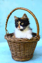 Three colored kitten in wicker basket close up photo