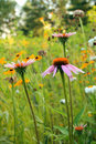 Three cone flower vertical with flowers in back Royalty Free Stock Photo