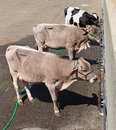 Three confined cows strapped to the wall Royalty Free Stock Image