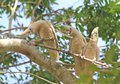 Three corellas strike comical poses while perched in a tree Royalty Free Stock Photos