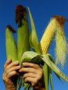 Three corn cobs fresh harvested ears in hands Stock Photo
