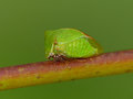 Three cornered alfalfa hopper on stem closeup of a sitting a plant Royalty Free Stock Photo