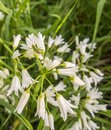 Three-cornered Leek flowers with grasshopper