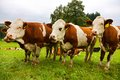 Three cows Royalty Free Stock Photo