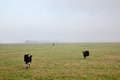 Three cows in dutch polder Stock Images