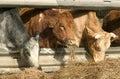 Three cows eating Royalty Free Stock Photo