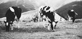 Three cows on field black and white film style colors Stock Photography