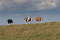 Three cows walking and grazing on top of a river bank. Royalty Free Stock Photo