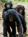 Three cubs of chimpanzee bonobo pan paniscus democratic republic congo africa Royalty Free Stock Photo