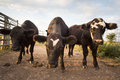 Three Curious Cows