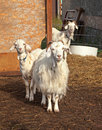 Three curious goats adorable and outside their barn Royalty Free Stock Image