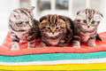 Three curious kittens cute scottish fold sitting together on the top of the colorful towel stack Stock Photo