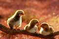 Three of cute chicks Stock Photo