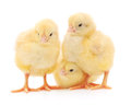 Three cute chicks isolated on white in front of background Stock Photos
