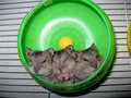 Three cute hamsters sleeping Royalty Free Stock Photo