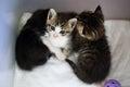 Three cute kittens Royalty Free Stock Photo