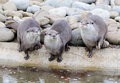 Three cute otters water edge Stock Image