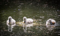 Three cygnets on river with reflection,swimming and scratching Royalty Free Stock Photo