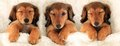 Three dachshund puppies in bed is a crowd concept Royalty Free Stock Image