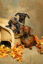 Three Dachshunds on a Wicker Chair Royalty Free Stock Images