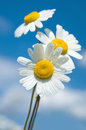 Three daisies on a background of the sky Royalty Free Stock Photo