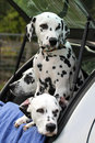 Three dalmatians in a car dalmtian dogs the back of Stock Photography