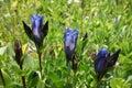 Three Dark Blue Mountain Bog Gentian Flower and Buds Royalty Free Stock Photo