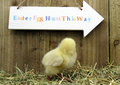 Three day old chick Royalty Free Stock Photo