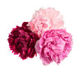 Three different color peonies Royalty Free Stock Photo